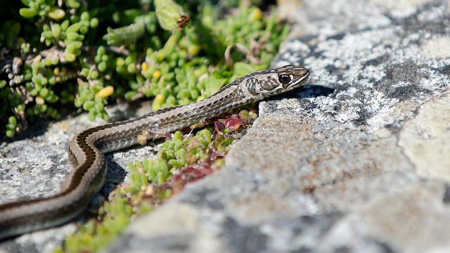 Snakes Table Mountain