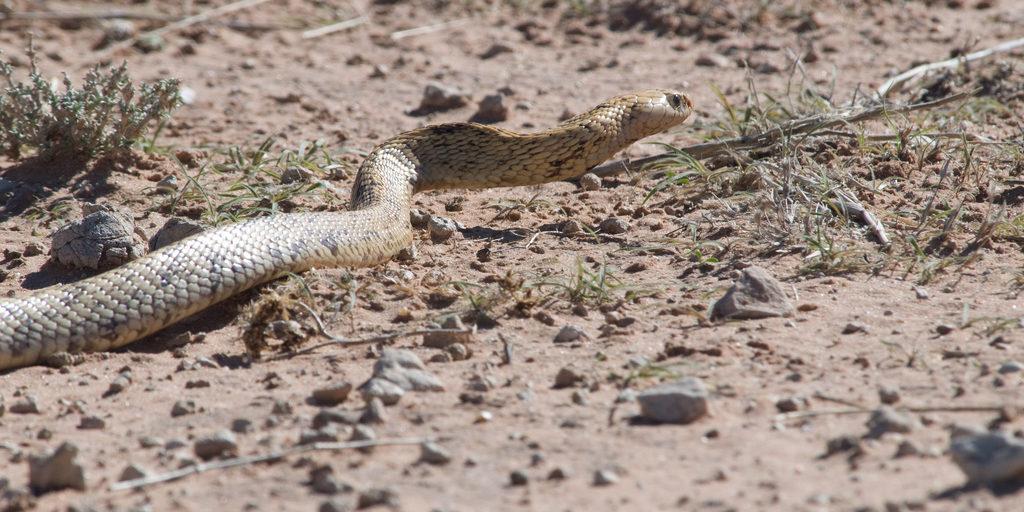 Table Mountain snakes