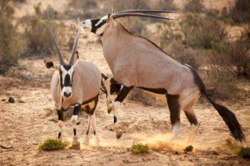 Safari Cape