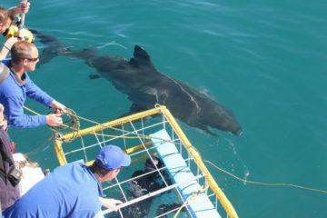 Shark tours South Africa