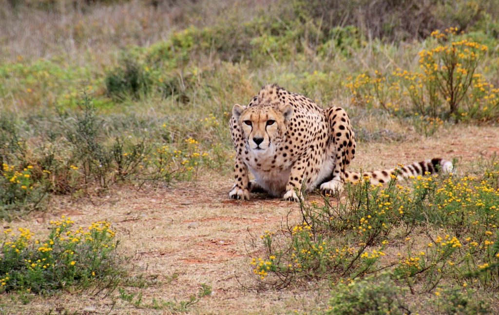 Cheetah Safari South Africa