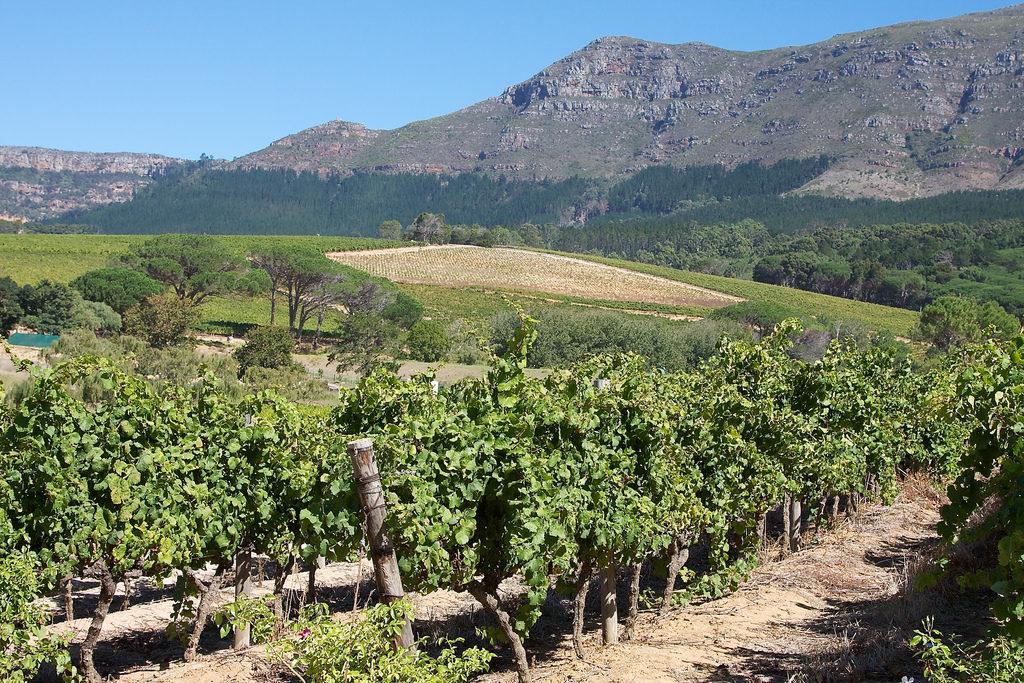Constantia vineyard
