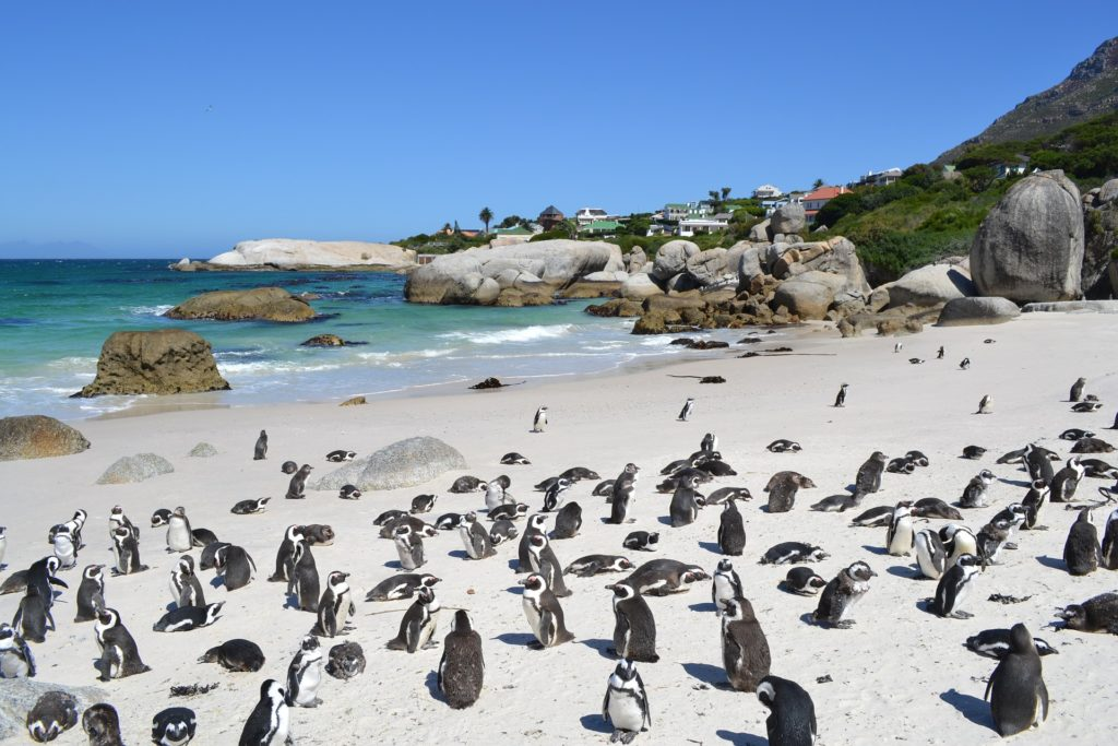 penguin Cape Town