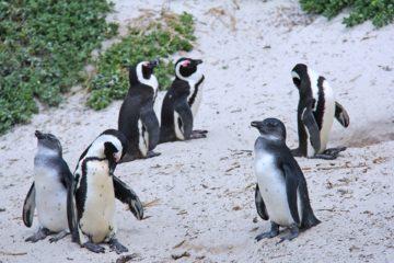 penguins Cape Town