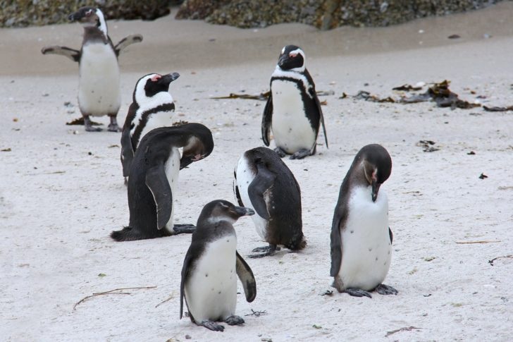 penguins Cape Town South Africa