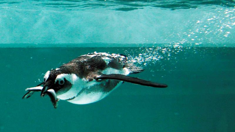 Penguins of Cape Town
