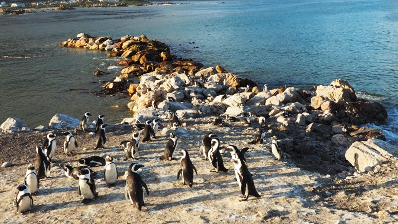 Stony Point penguins Cape Town