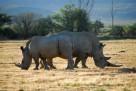 Rhino on Safari at Iverdoorn