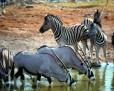 Gemsbok_Zebra