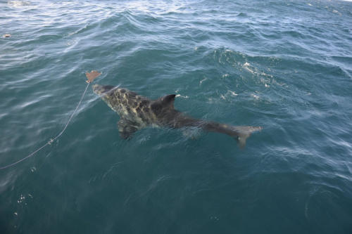 Shark touring South Africa