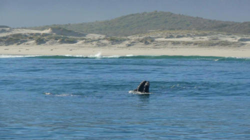 Whales South Africa