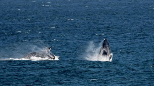 Whales breaching whale tours South Africa
