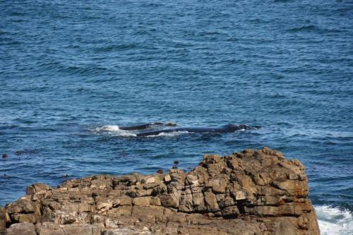 Whales in SA