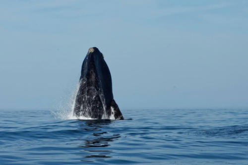 Whales near Cape Town
