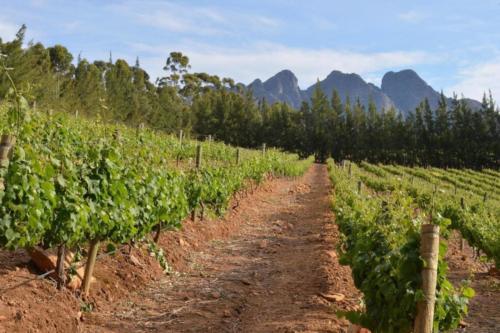 vineyard Cape wine
